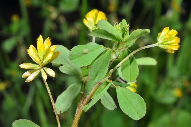 Image of Trifolium dubium