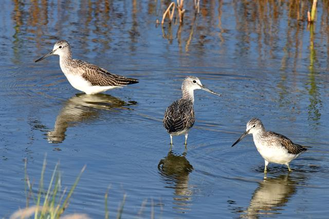 Common Greenshank (Tringa nebularia)