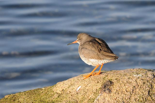 Common Redshank (Iceland) (Tringa totanus robusta)