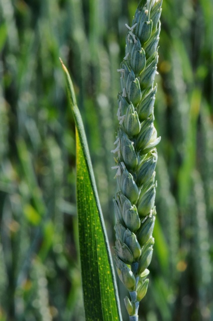 Image of Triticum aestivum