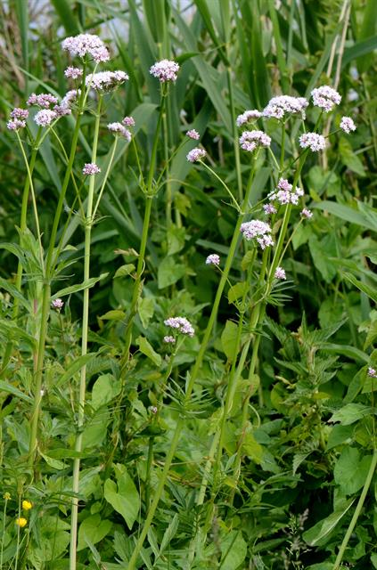 Valeriana sambucifolia ssp. procurrens photo