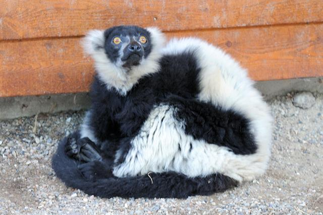 Black-and-white Ruffed Lemur (Varecia variegata variegata)