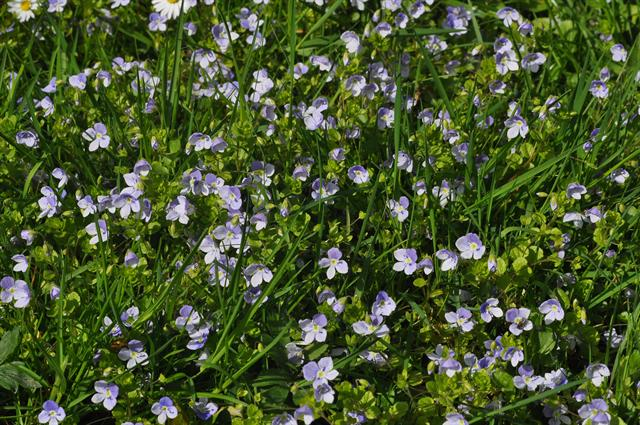Slender Speedwell (Veronica filiformis)