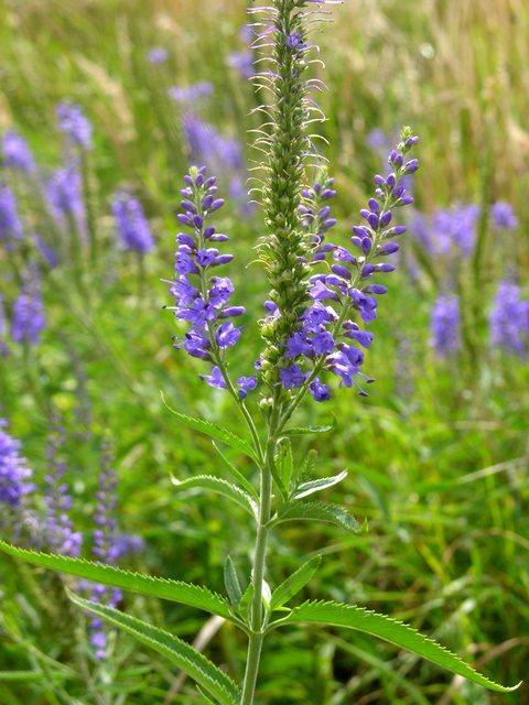 Long-Leaved Speedwell (Veronica longifolia)