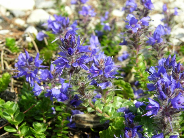 Veronica saturejoides