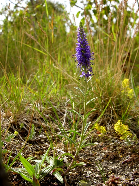 Spiked Speedwell (Veronica spicata)