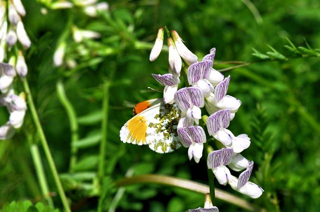 Wood Vetch (Vicia sylvatica)