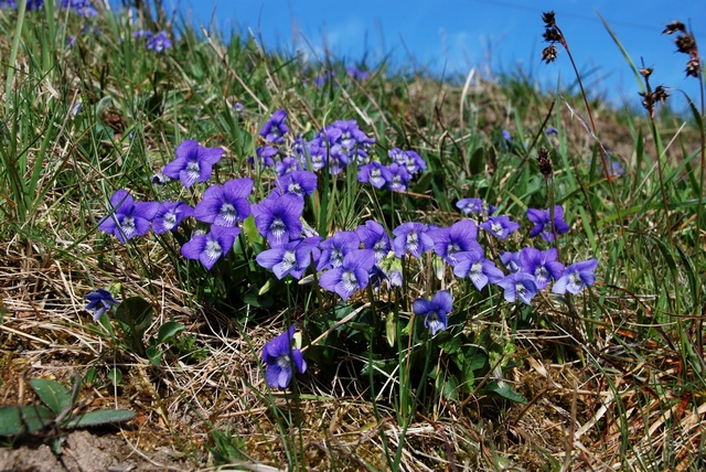 Heath Dog-Violet (Viola canina)