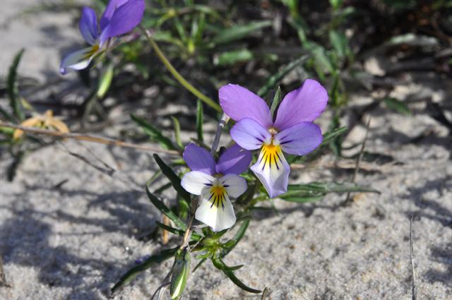 Viola tricolor ssp. curtisii photo