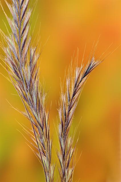 Bearded Fescue (Vulpia ciliata)