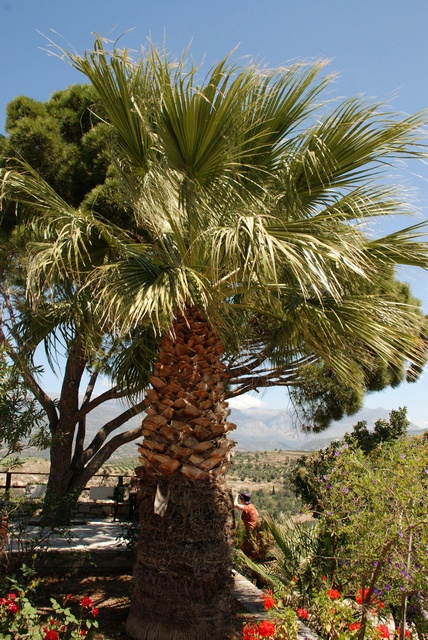 Washingtonia sp. photo