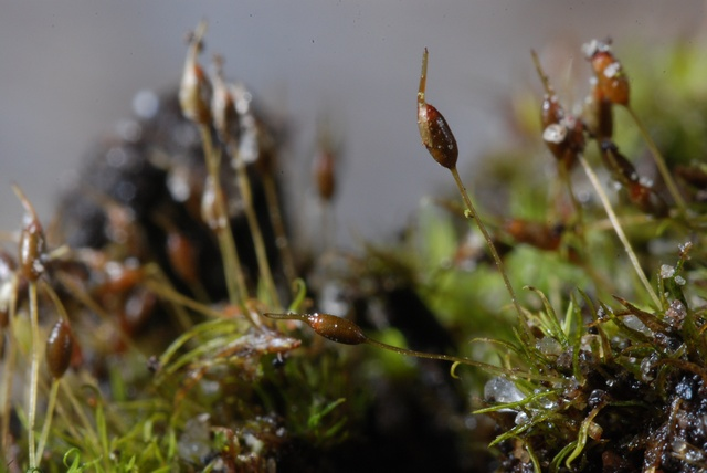 Green-tufted Stubble-moss (Weissia controversa)
