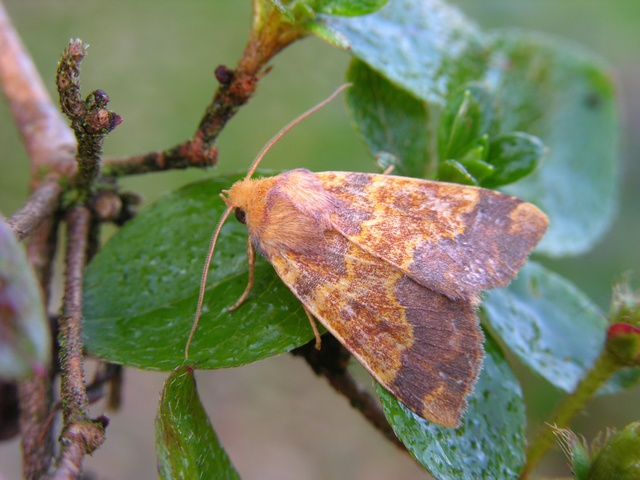 Barred Sallow (Xanthia aurago)