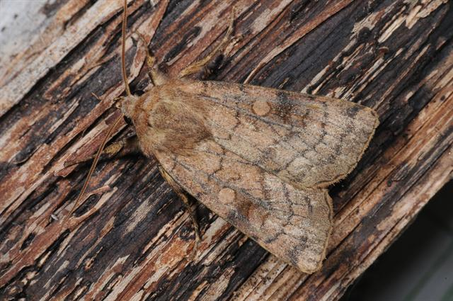 Six-striped Rustic (Xestia sexstrigata)