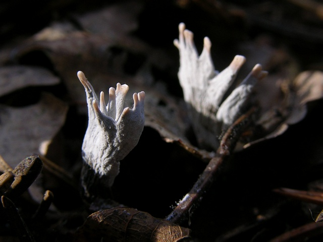 Candle Snuff (Xylaria hypoxylon)