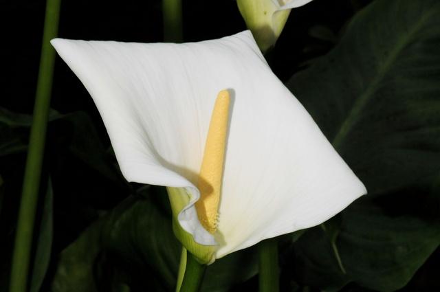 Zantedeschia aethiopica image