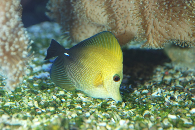 Brown tang (Zebrasoma scopas)