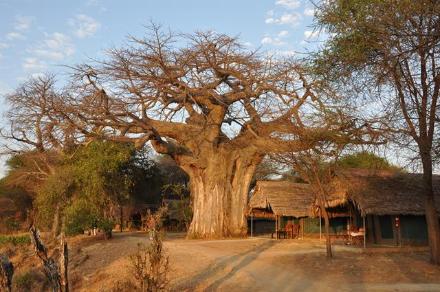 Image of Adansonia digitata