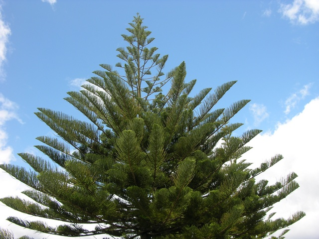 Araucariaceae image