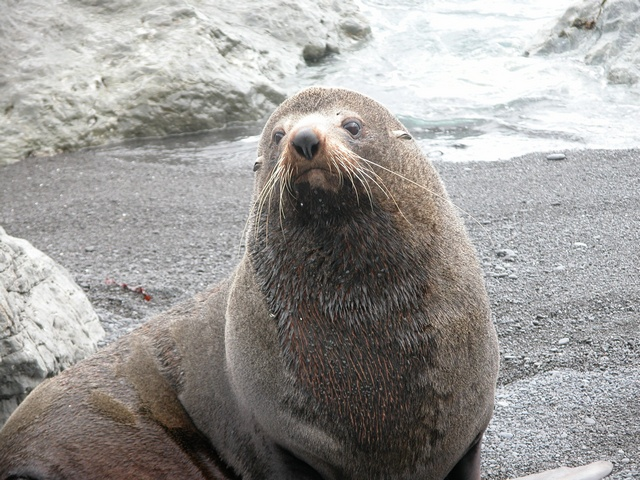 New Zealand Fur Seal (Arctocephalus fosteri)
