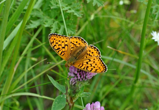 Argynnis aglaja photo