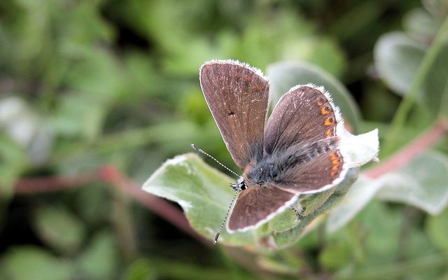Northern Brown (Aricia artaxerxes)