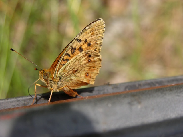 Lesser Marbled Fritillary (Brenthis ino)