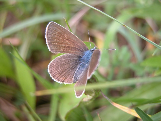 Cyaniris semiargus photo