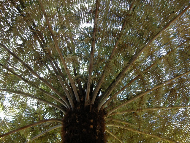 Silver tree fern (Cyathea dealbata)