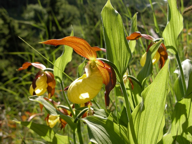 Lady Slipper Orchid (Cypripedium calceolus)