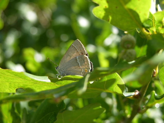 Purple Hairstreak (Favonius quercus)