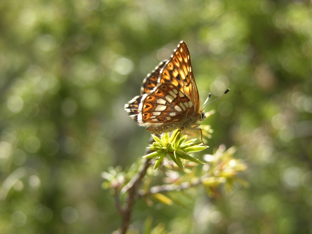 Duke of Burgundy Fritillary (Hamearis lucina)