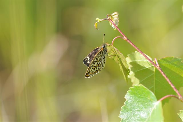 Large Checkered Skipper (Heteropterus morpheus)