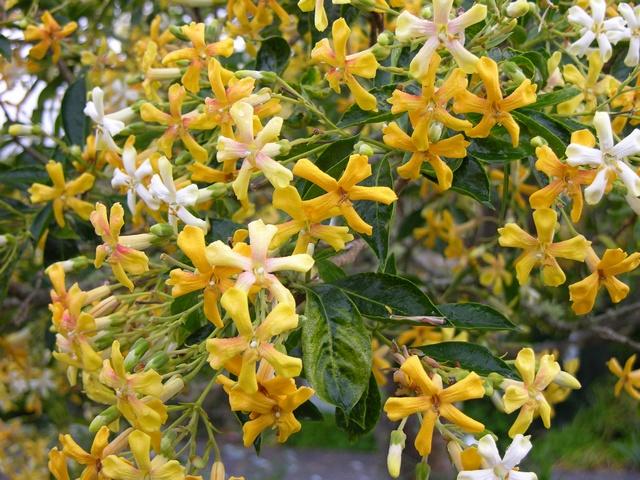 Native Frangipani Hymenosporum Flavum Biopix Photo Image