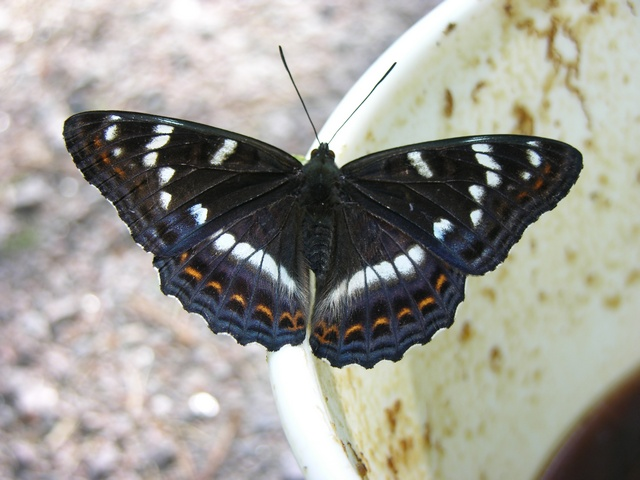 Limenitis populi photo