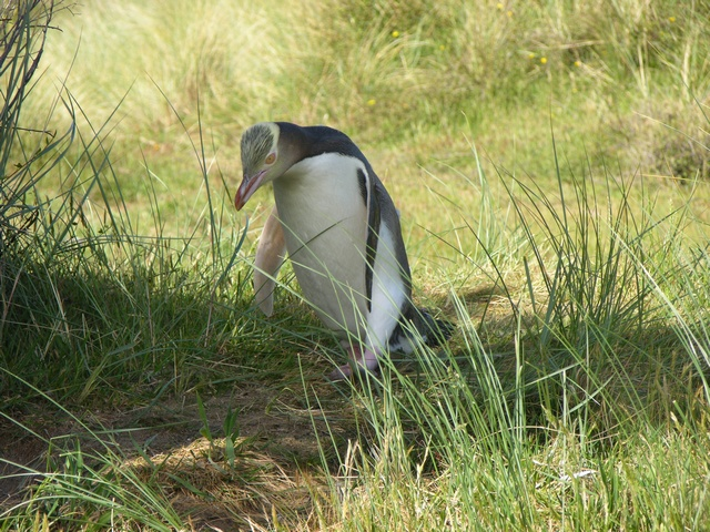 Yellow-eyed Penguin (Megadyptes antipodes)