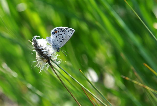 Plebejus optilete