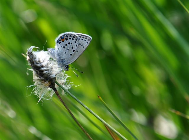 Plebejus optilete photo