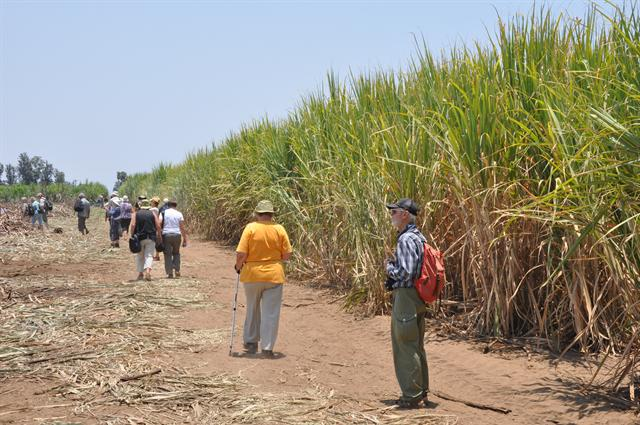 Sugarcane (Saccharum officinarum)