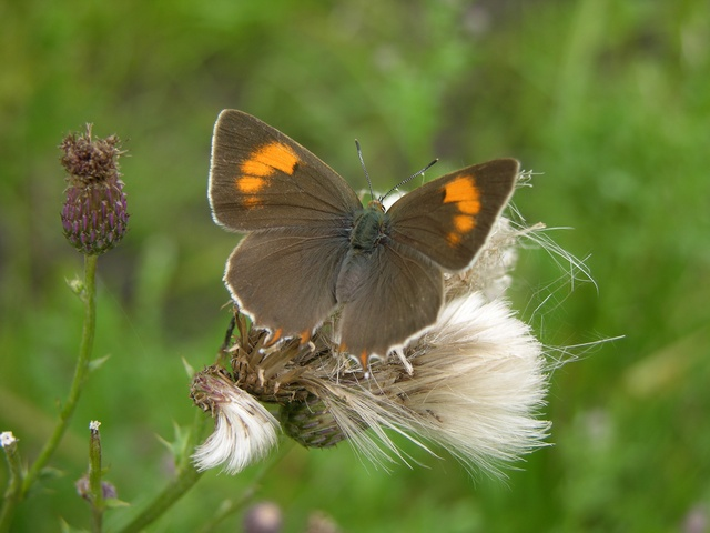 Brown Hairstreak (Thecla betulae)