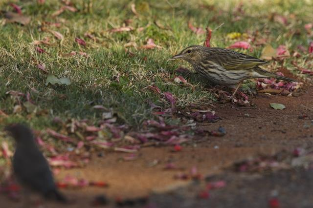 Striped Pipit (Anthus lineiventris)
