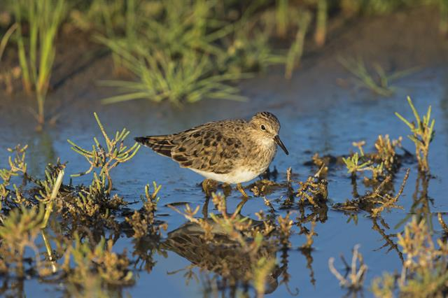Temminck´s Stint (Calidris temminckii)
