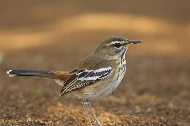 White-browed Scrub Robin (Cercotrichas leucophrys)
