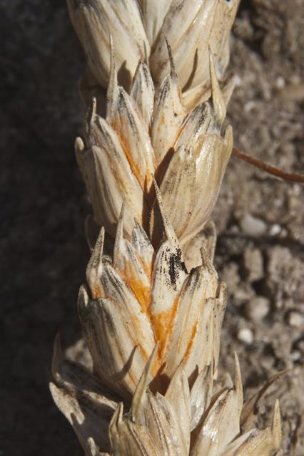 Head scab, Ear blight  (Fusarium sp.)