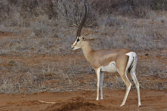 Grants Gazelle (Gazella granti)