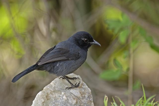 Slate-colored Boubou (Laniarius funebris)