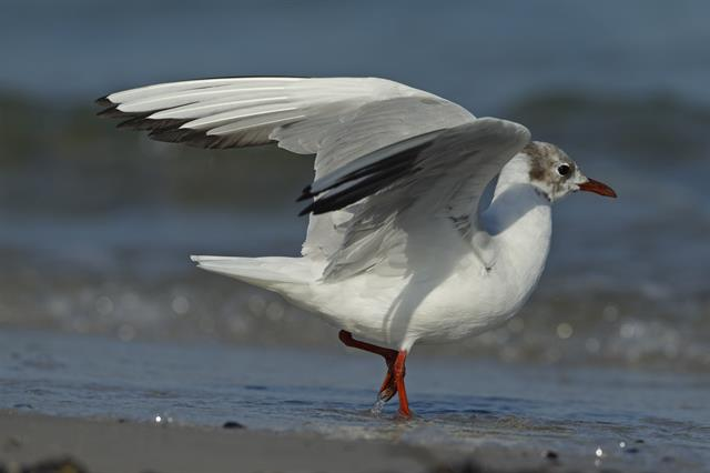 Black-headed Gull (Larus ridibundus)