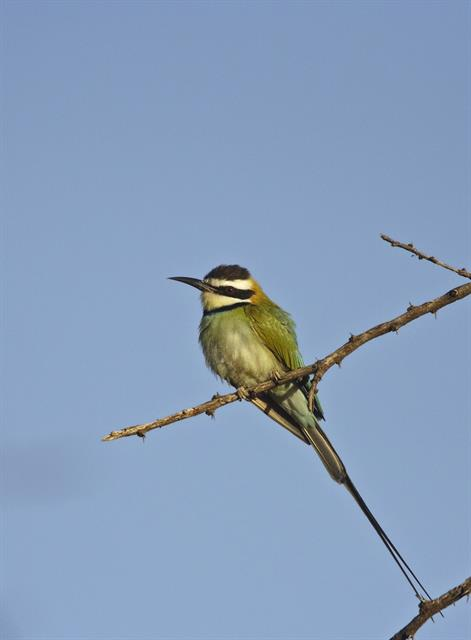 White-throated Bee-eater (Merops albicollis)