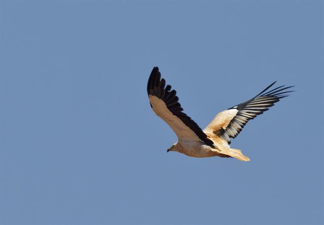 Egyptian Vulture (Neophron percnopterus ssp. majorensis)