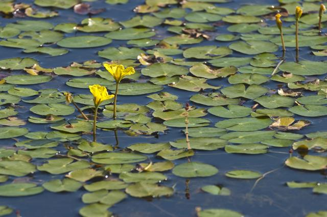 Fringed Water-lilly (Nymphoides peltata)